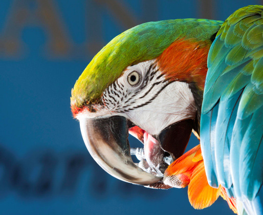 Merlin the Macaw