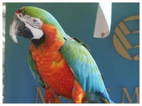 Merlin, the Rainbow Macaw
