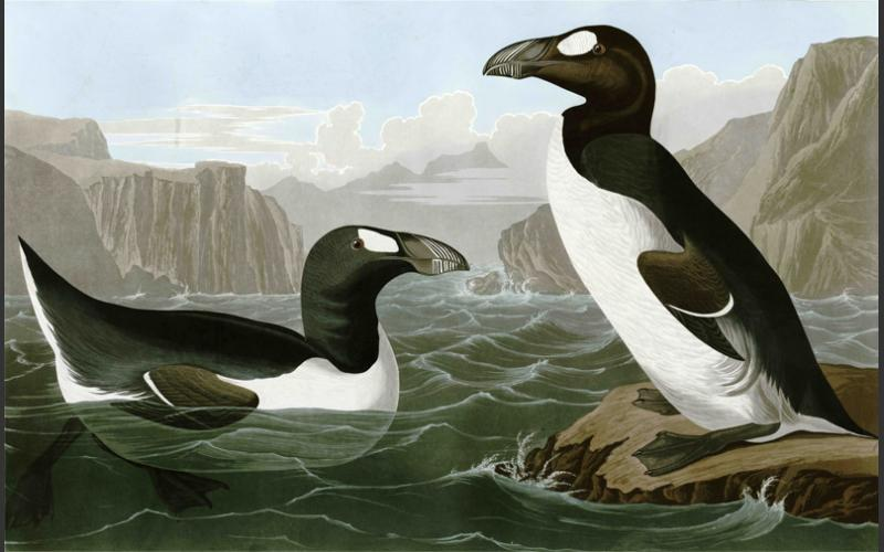 The Great Auk, a species hunted to extinction along northern coasts